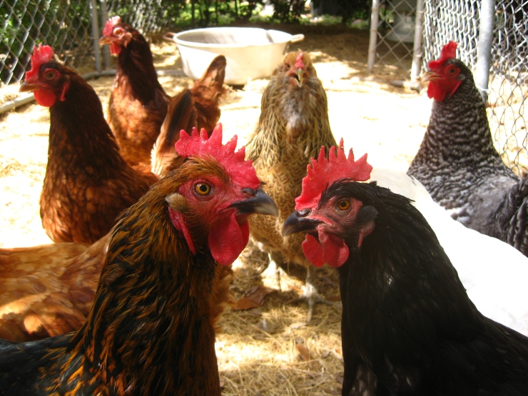 hens say what